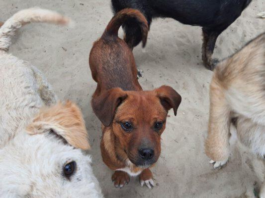 Pup Tisa mooi bruin hondje