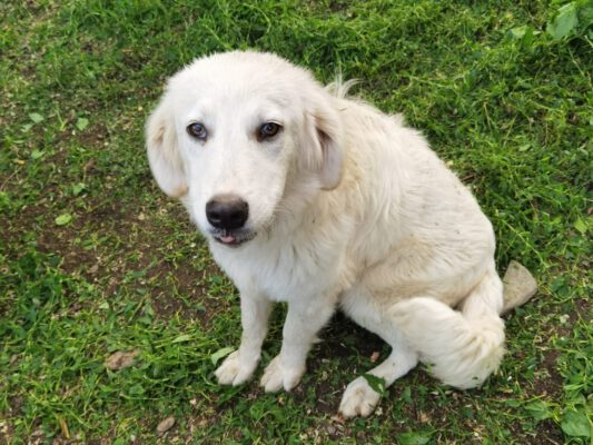 Vincent blonde jonge hond