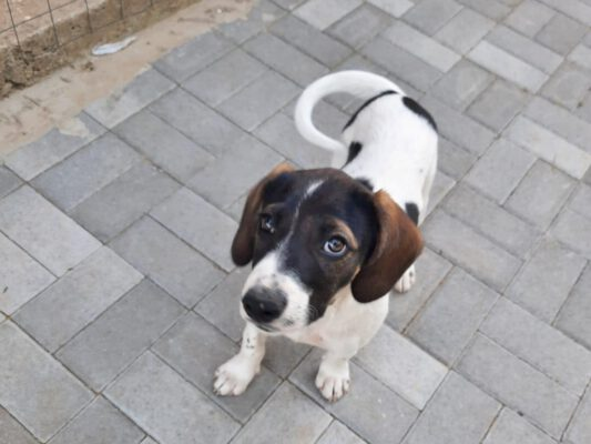 Pup Lili met hangoortjes