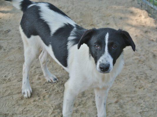 Dodi zwart-witte hond