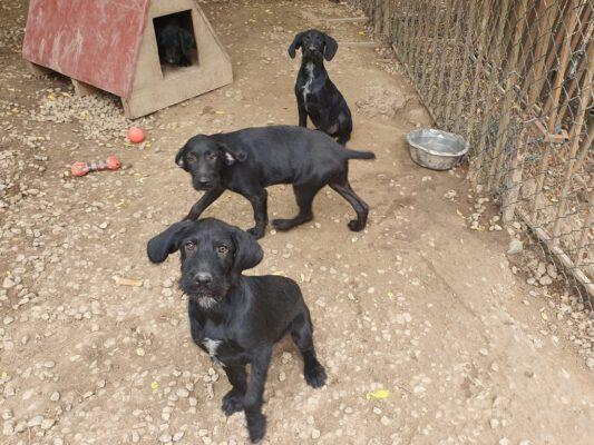 N-pups zwarte hondjes met snorretjes