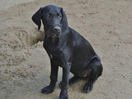 Puppy Nina zwarte jachthond