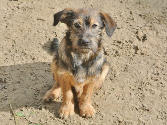Puppy Zuzu klein hondje