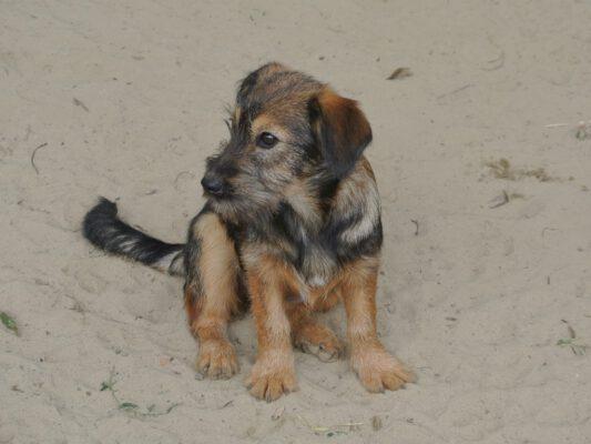 Puppy Zuzu kleine mix