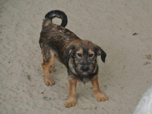 Puppy Zuzu zoekt een huis