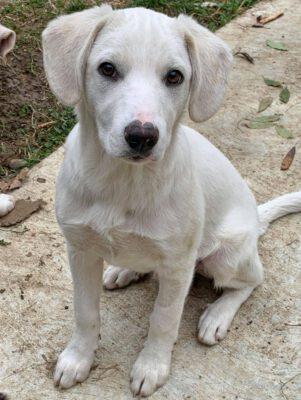 Pup Ben mooie witte kruising